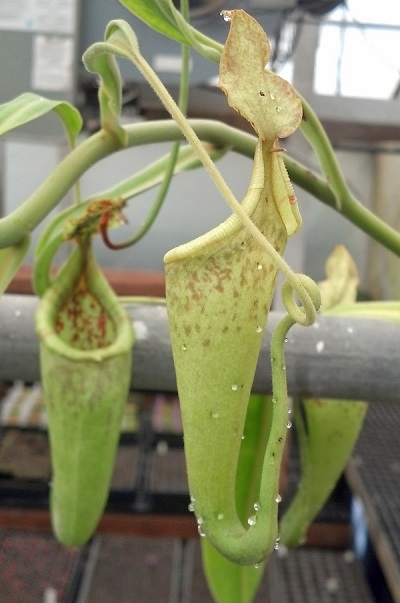 Nepenthes maxima upper with nectar