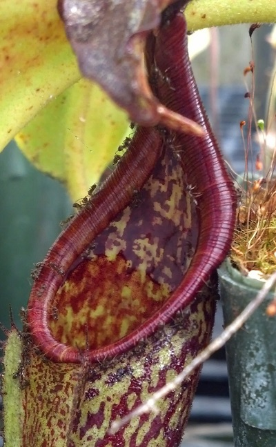 Another Nepenthes maxima