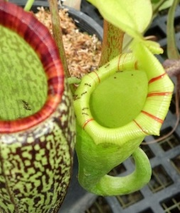 Nepenthes ovata